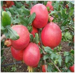 डाळिंब (Pomegranate)