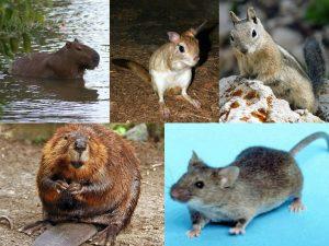 कुरतडणारे प्राणी (Rodents)