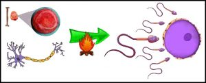 शुक्रधातु (Shukra Dhatu)