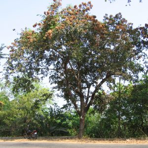 किंजळ (Terminalia paniculata)