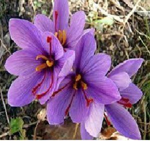 Read more about the article केशर (saffron)