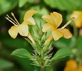 Read more about the article कोरांटी (Porcupine Flower)