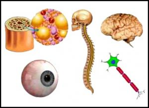मज्जा धातु (Majja Dhatu)