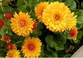 शेवंती (Chrysanthemum)