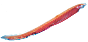 Read more about the article अँफिऑक्सस (Amphioxus)