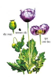 Read more about the article अफू (Opium)