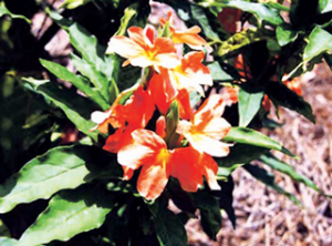 Read more about the article अबोली (Fire-cracker flower)