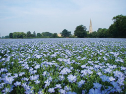 Read more about the article अळशी (Linseed)