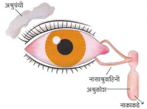 अश्रुग्रंथी (Lachrymal glands)