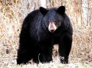 अस्वल (Bear)