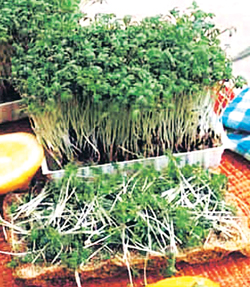 Read more about the article अहाळीव (Garden cress)