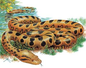 अॅनॅकाँडा (Anaconda)