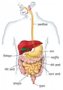 आंत्र (Intestine)