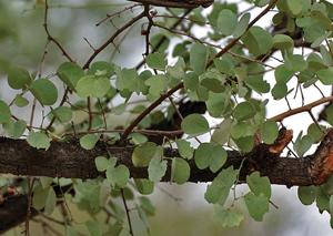आपटा (Bauhinia racemosa)