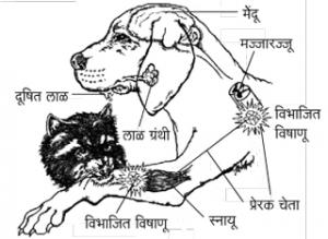 आलर्क रोग (Rabies)