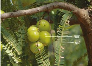 आवळी (Indian gooseberry)