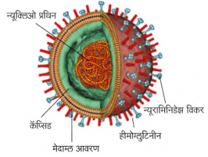 Read more about the article इन्फ्ल्यूएंझा (Influenza)