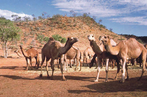 उंट (Camel)