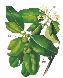 Read more about the article उंडी (Alexandrian laurel)