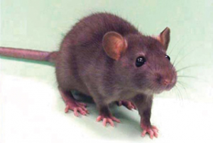 Read more about the article उंदीर (Mouse, Rat)
