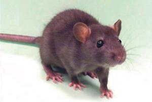 उंदीर (Mouse, Rat)