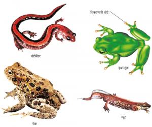 उभयचर वर्ग (Amphibia)