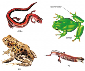 Read more about the article उभयचर वर्ग (Amphibia)