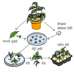 Read more about the article ऊती संवर्धन (Tissue culture)
