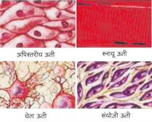 Read more about the article ऊती (Tissue)