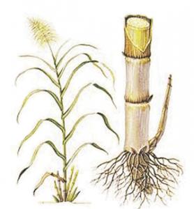 ऊस (Sugarcane; Noblecane)