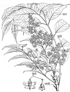 Read more about the article ऐन (Laurel)