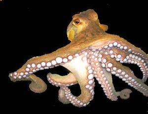 ऑक्टोपस (Octopus)