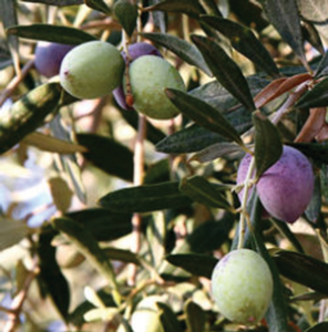 ऑलिव्ह (Olive)