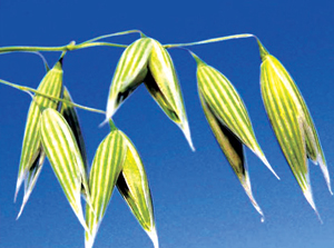 Read more about the article ओट (Oat)