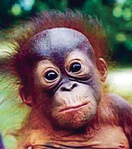 ओरँगउटान (Orangutan)