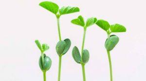 एकदलिकित वनस्पती (Monocotyledones Plants)
