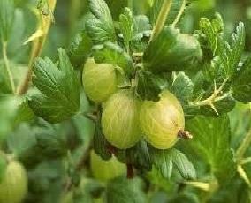 गूजबेरी (Gooseberry)