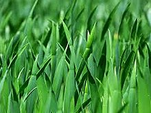 Read more about the article गवत (Grass)