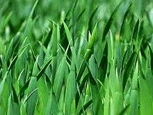 गवत (Grass)