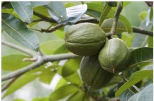 अडुळसा (Malabar nut tree)