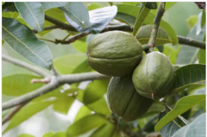 Read more about the article अडुळसा (Malabar nut tree)