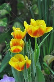 ट्यूलिप (Tulip)