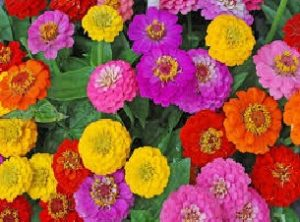 Read more about the article झिनिया (Zinnia)
