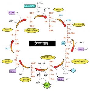 क्रेब्ज चक्र (Krebs cycle)