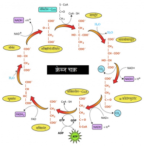 Read more about the article क्रेब्ज चक्र (Krebs cycle)