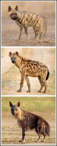 तरस (Hyena)