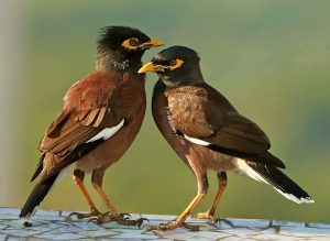 साळुंकी (common myna; Indian myna)
