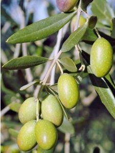 ऑलिव्ह (Indian Olive)
