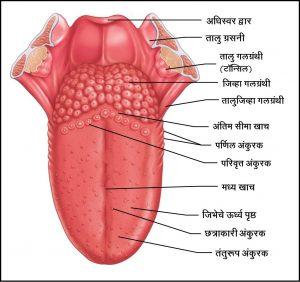 मानवी जीभ (Human tongue)
