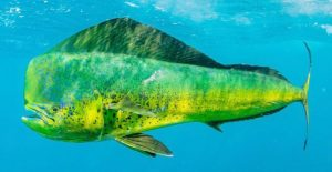 पोपटमासा (Dolphinfish)